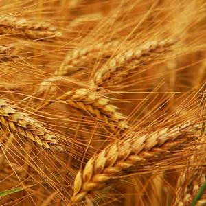 Закупаем пшеницу 2 и 3 класс