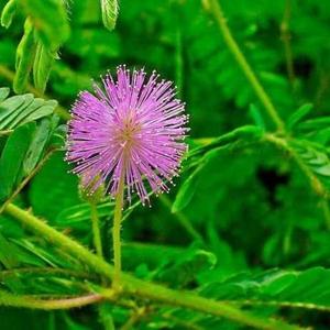 Продам Мимозу Стыдливую - растение,  которое двигается