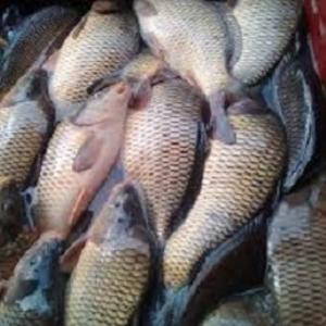 Продам живую рыбу карп,  толстолоб
