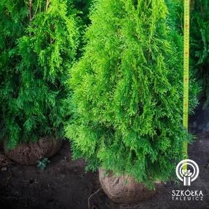 Декоративні рослини і трави високої якості оптом з розплідника