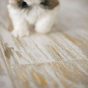 Купить щенка ши тцу в Киеве.
