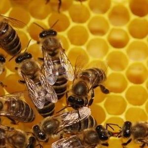 Продам бджоли,  бджолосім'ї без вуликів або з вуликами дадан