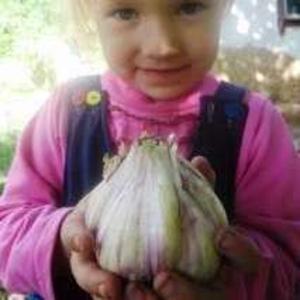 Продам семена чеснока украинской селекции
