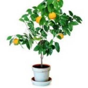 Экзотические комнатные растения и комнатные плодовые деревья от интерн