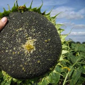 Недорого семена подсолнуха (под Гранстар,  Экспресс)
