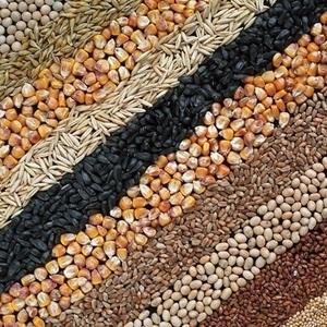 Куплю С/г зерновые,  масличные,  бобовые.